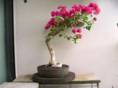A Guide To Bonsai Trees For Beginners – Greenest Way Bonsai Tree Price, Buy Bonsai Tree, Japanese Bonsai Tree, Flowering Bonsai Tree, Bonsai Trees For Sale, Bonsai Tree Care, Bonsai Tree Types, Tree Sale, Indoor Bonsai Tree