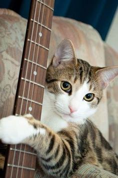 Kitty is giving a try to his music career... Think he'll make it?    #musicmonday #guitarhero #guitarplaying
