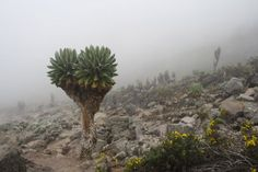 Kilimanjaro Endemic Plants.  Read all about trekking Mt Kilimanjaro, the Machame Route with Nomad Tours in Tanzania.  www.nomadtours.co.za