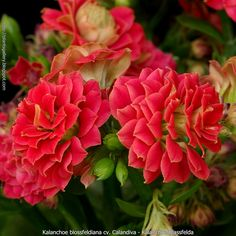 Kalanchoe Plant - How to Grow Care Guide Red Flowers, Beautiful Flowers, Kalanchoe Blossfeldiana, Indoor Flowers, Outdoor Plants, Plant Care, Planting Succulents, Lawn And Garden, Horticulture