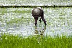 campi di riso #Cina