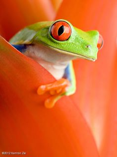 Beautiful red eyes................Crazy Frog