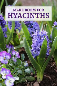 In the 18th and 19th centuries, hyacinths were the world's most popular spring-blooming flower bulbs. Yet today few people plant them. Learn why these easy, sweet-smelling flowers are finally making a comeback.