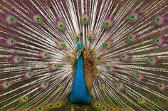 Peacocks are members of the Pheasant family. In ancient Greece, they were the symbol for immortality, in ancient Persia and Babylon they were considered the guardians of royalty and in modern-day, the peacock is represented in the NBC logo. Insanely Colorful Animals
