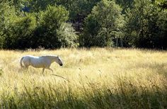 Growing Your Bedding - The Good, The Bad, and the Ugly - TheHorse.com | Managing and monitoring pastures properly can result in the safe production of quality hay or bedding. #TheHorse #horses #bedding #pastures