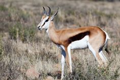 Cute Springbok standing in a field of long grass Springbok standing in a field with yellow grass a bokeh background.