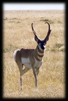 Hoping one day Iget an Antelope like this!!! I already have an female now its time to set my eyes on a good buck!!!