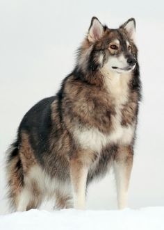 UTONAGAN DOG  This dog is a mix of a Siberian husky, alaskan malamute, and german shepherd dogs. These type of dog breed was bred to resemble a wolf.