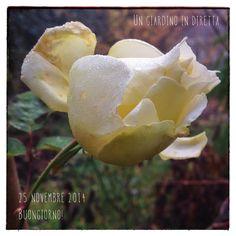 Rosa Elfe fiorisce nonostante il freddo, buongiorno giardinieri!