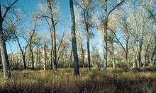 Cottonwood = álamo plateado