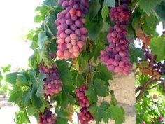 grapes_grape_vine_235818.jpg (600×450)