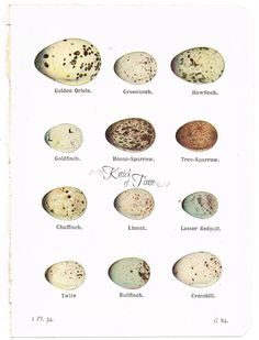 Knick of Time: Antique Graphics Wednesday - 1920's Bird Eggs Framable Art Pages