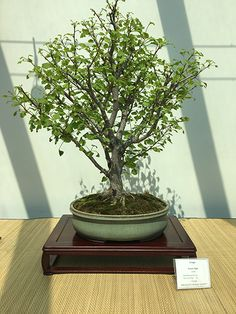 Ginko Bonsai at the Minnesota Bonsai Society 2016 Mother's Day Show.