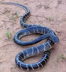 8 Best posionous snakes in india images in 2016 | Snake