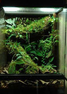 Chameleons vivarium Simple cork tube build with extensive plant list of mini broms and orchids Tree Frog Terrarium, Gecko Terrarium, Aquarium Terrarium, Reptile Terrarium, Terrarium Plants, Planted Aquarium, Crested Gecko Vivarium, Crested Gecko Habitat, Reptile Habitat