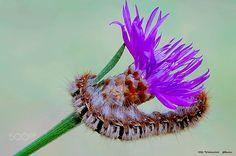 Eriogaster lanestris moth. ( Fam.Lasiocampidae) by Mario Valentini on 500px