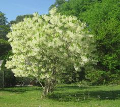 You'd think a small, native tree with pretty spring flowers and pretty fall foliage that's easier-than-pie to grow would be a staple in our gardens. You'd be wrong. So let me tell you about fringe ...