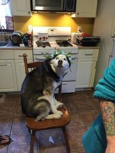 19 Pics That Prove Huskies Are The Most Noble Breed - Funny Husky Meme - Funny Husky Quote - 19 Pics That Prove Huskies Are The Most Noble Breed Funny Dog Quotes Their fashion sense is inspiring. They are all miniature furry Beyoncés. Husky Humor, Funny Husky Meme, Dog Memes, Funny Dogs, Cute Dogs, Cute Funny Animals, Funny Animal Pictures, Husky Mignon, Siberian Husky Funny