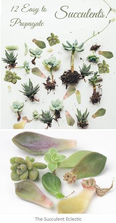 succulent garden care Some succulents propagate best and most successfully by leaf, some by stem cuttings, others by division. Check out the 12 easiest succulents to propagate, which method works best and how to do it! Propogate Succulents, Crassula Succulent, Propagate Succulents From Leaves, How To Water Succulents, Succulent Landscaping, Growing Succulents, Succulent Gardening, Planting Succulents, Succulent Terrarium