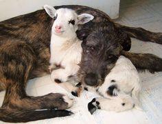 unlikely-sleeping-buddies-animal-friendship-111__605
