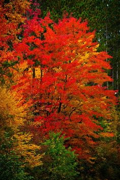 """Red Maple - *The Blue Hills of Wisconsin*""  --  [Photographer Susanne Schroeder - September 28 2011]'h4d'121017"