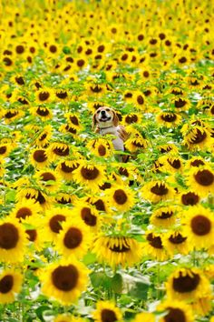 Puppy in Sunflower Heaven