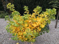 Thuja Smaragd, Herbs, Fruit, Plants, Herb, Plant, Planets, Medicinal Plants