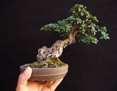 Providing the best care to your bonsai tree will help prolong its life – find out how. Bonsai Tree Price, Buy Bonsai Tree, Japanese Bonsai Tree, Bonsai Trees For Sale, Bonsai Tree Care, Bonsai Tree Types, Tree Sale, Ficus Bonsai, Juniper Bonsai