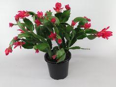 november-kaktus / julekaktus - schlumbergera hybrid