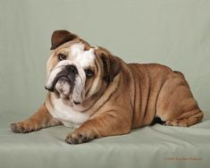 Image result for perfect english bulldog pictures to draw