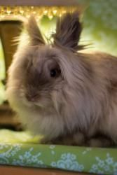 Flower is an adoptable Lionhead Rabbit in Dublin, CA. Flower is looking for a home with someone who sees her for who she really is (and not how adorable she looks!) - she's a very sweet but shy girl w...