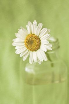 Daisy ~ so simple, yet so beautiful. Happy Flowers, Beautiful Flowers, Daisy Love, Daisy Daisy, Perfect World, Home Remedies, Flower Power, Herbs, Painting