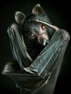 black flying fox bat