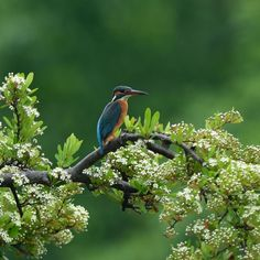 Flower and Kingfisher (Pyracantha) by Mubi.A