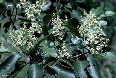 Factsheet - Geijera salicifolia var. salicifolia