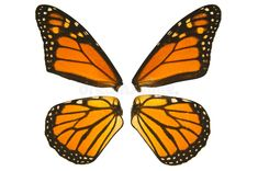 Monarch butterfly wings stock photos