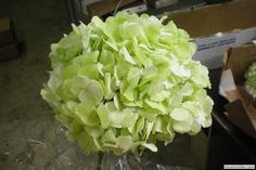 Pale green hydrangea. possibly the color for flower arrangements