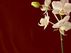 Orchid Wallpapers, Amazing 35 Wallpapers of Orchid, Top Orchid ...