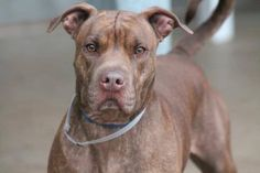 Greenville, SC NAME: Tank ANIMAL ID: 24663625 BREED: Sharpei SEX: male-neutered EST. AGE: 2 yr Est Weight: 68 lbs Health: heartworm neg Temperament: dog friendly, people friendly. ADDITIONAL INFO: RESCUE PULL FEE: $49 Out of time