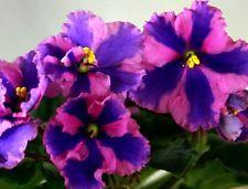 African Violet ~~  Chimera  Parker ~~ plant Russian / Ukrainian Variety!