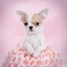 Chihuahua puppy portrait with pink rose #chihuahua puppy portrait with pink roses