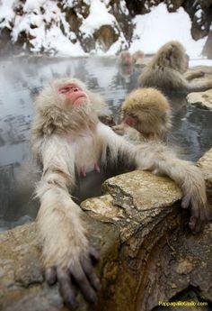 Scimmie delle nevi - il macaco giapponese (28 foto). Foto 13