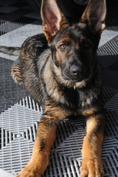 German Shepherd Puppies Gallery