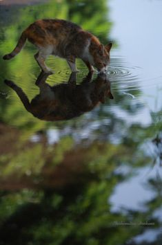 Reflection of cat drinking