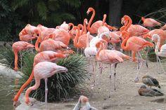 Beautiful Flamingos, San Diego Zoo  |  2929 Zoo Drive, San Diego, CA