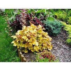 Rośliny wieloletnie • bardzo dekoracyjne zróżnicowane kolorystycznie liście ✓ Żurawka w odmianach (Heuchera  sp.) ➜ Ogrodowe rośliny ozdobne kupić