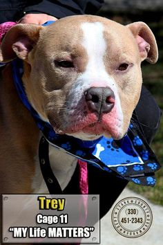 Meet 11  Trey, a Petfinder adoptable Pit Bull Terrier Dog | Canton, OH | Picked up as a stray on 3/27.  Available on 3/30.  Trey is one handsome young dog!  He has some pep...