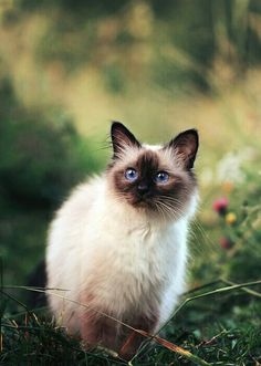 Have my own Siamese cat.  Or maybe a Himalyan...