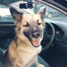 On the weekend my let's me drive the @volkswagen #asif  #declandog  #weekenddriver #welovebrighton #brightondogs . . . #gsdlove #muttsofinstagram #adoptdontshop #dogsofinstagram  #germanshepherdsofintagram #endbsl #pawpack #bestwoof #thestatelyhound #houndsbazaar #ilovedogs #rescuedogs #foundmyanimals #dogsandpals #fluffypack #excellent_dogs #dogcrushdaily