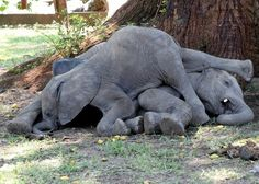 Baby elephants napping